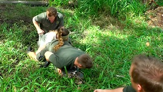 Zookeepers Wrestle With Alligator to Remove Eggs From Nest - Video