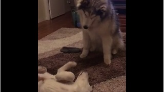 Alaskan Malamute & puppy talk to each other  - Video