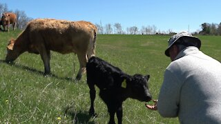 Trusting mother cow drops off her newborn calf with the babysitter