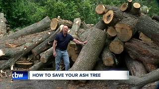 Ash tree choices - save or cut down? - Video