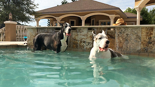 Two Great Danes enjoy dipping and sipping in the pool - Video