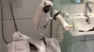Harley the Cockatoo Enjoys a Pampered Afternoon at Home - Video