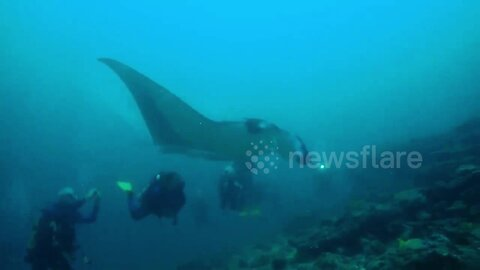 Giant manta ray 'flies' beside divers in waters off the Maldives