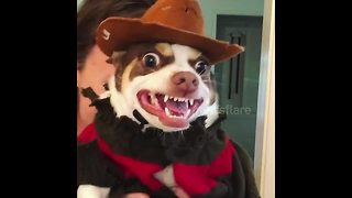 Why are you screaming? Chihuahua makes incredible Freddy Krueger