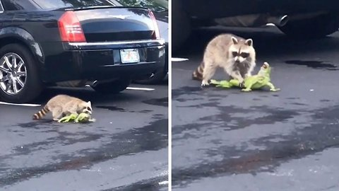 Bizarre car park fight breaks out between raccoon and iguana