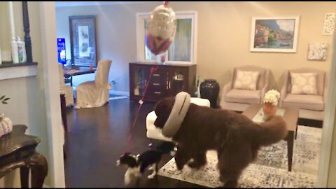 Cutest puppy birthday parade you will see today