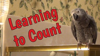 Studious parrot learns how to count - Video