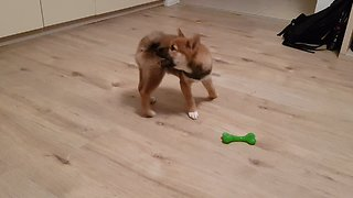 Adorable Shiba Inu puppy chasing his tale untill he gets dizzy