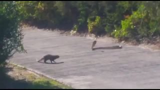Mongoose hunts cobra on South African golf course - Video