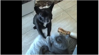 French Bulldog literally begs for cat to play with her