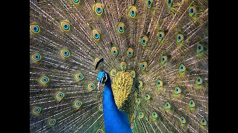 Fabulous Indian Peafowl