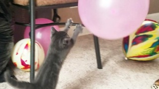 Super Cute Baby Kitten Playing  - Video
