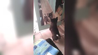 Husky puppy argues with reflection in mirror