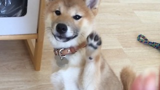 Shiba Inu puppy learns to wave hello