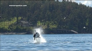 Killer Whales Pursue a Sea Lion in San Juan Island, Washington - Video