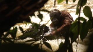 Wild orangutan stranded in the middle of ranging river rescued by conservationists - Video