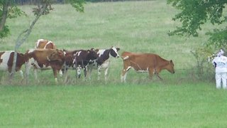 Cows Enjoy some Bagpipe Music