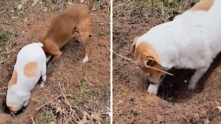 Pair of dogs use teamwork to dig giant hole