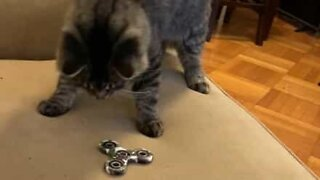 Cats' reaction to fidget spinner is adorable