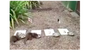 Otters at Beale Park Predict the Winner of England, Belgium Match at World Cup - Video