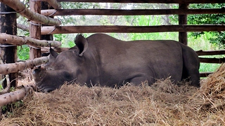 Rhinos adorably going to bed - Video