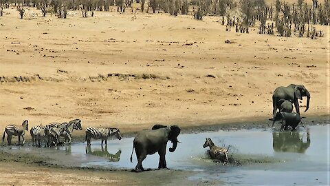 Elephant scares lone zebra into the water with an aggressive charge