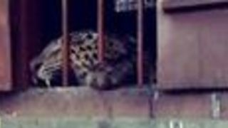 Leopard Mauls Four People While Roaming Primary School - Video