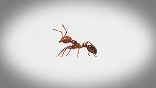 S3 Ep41: Inside the World of Fire Ants! - Video