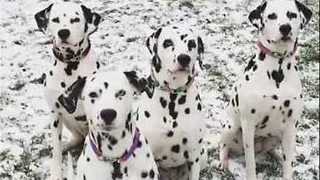 Majestic Dalmatian Pooches Pose For Picture Perfect On Cue - Video