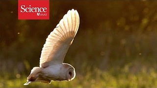 Why don't barn owls lose their hearing? - Video