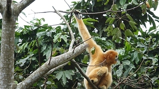 Endangered Northern White-Cheeked Gibbon Plays in Vietnam Park - Video
