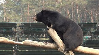 This Bear Tries His Hand at Gymnastics - Video