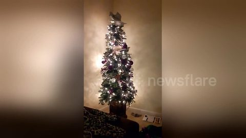 Cheeky kitten throws decorations from top of Christmas tree