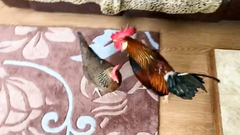 Owner spends 30 minutes chasing brazen cockerel and hen round house after they marched into living room