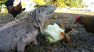 Iguana and chicken showdown over head of lettuce - Video