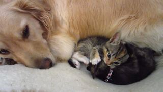 Golden Retriever watches over foster kittens playing on his bed