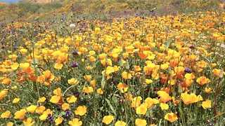 Aerial Video Shows California's Rare Wildflower 'Super Bloom' - Video