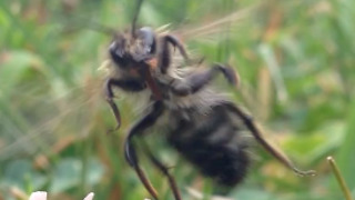 Honey Bee Attacks Videographer  - Video