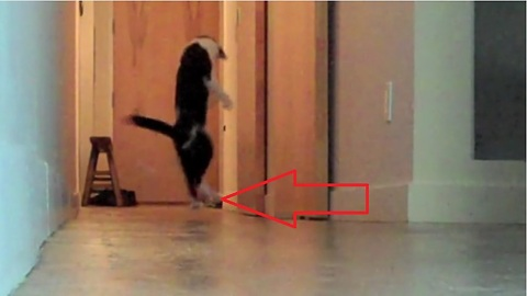 'The Nutcracker' interpreted by Kodi the Cat