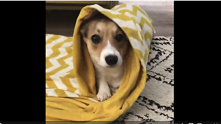 Dog learns to roll itself into a blanket - Video