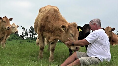 Curious cow and calf come to visit an investigate camera