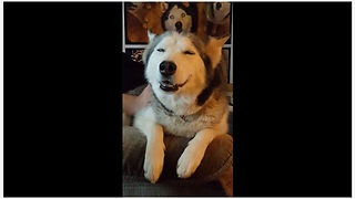 This Husky Enjoying An Afternoon On The Couch Is Too Cute - Video