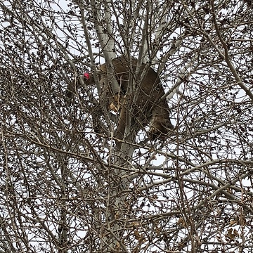 Tranquilized Mountain Lion Removed From Tree in Colorado Backyard