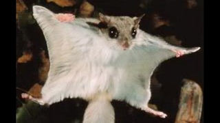 Worlds Weirdest Rodents - Video