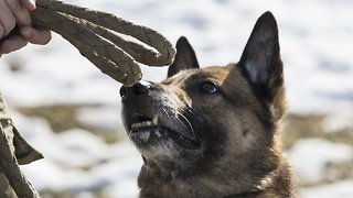 Defense Department Report Says Former US Army Dogs Were Mistreated