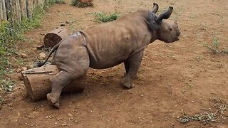 Baby rhino finds ingenious way to scratch himself by rubbing against log