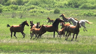 A herd of Arabian horses  - Video