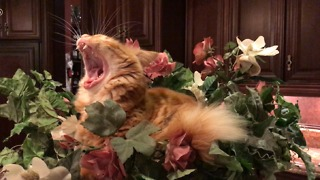Funny Jack the Cat Yawns and Relaxes in Flower Bowl  - Video