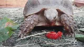 Tortoise Enjoys a Juicy Strawberry - Video