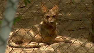 Wild Mexican Wolf Pups - Video